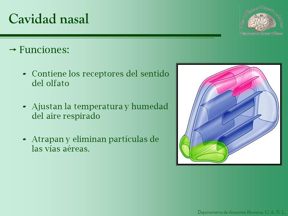 Departamento de Anatomía Humana, U. A. N. L. Cavidad nasal Funciones: - Contiene los receptores del sentido del olfato - Ajustan la temperatura y hume