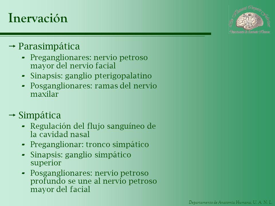 Departamento de Anatomía Humana, U. A. N. L. Inervación Parasimpática - Preganglionares: nervio petroso mayor del nervio facial - Sinapsis: ganglio pt