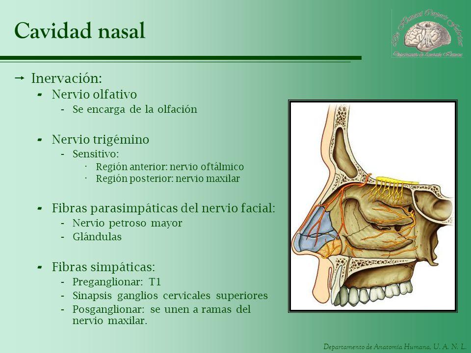 Departamento de Anatomía Humana, U. A. N. L. Cavidad nasal Inervación: - Nervio olfativo -Se encarga de la olfación - Nervio trigémino -Sensitivo: · R