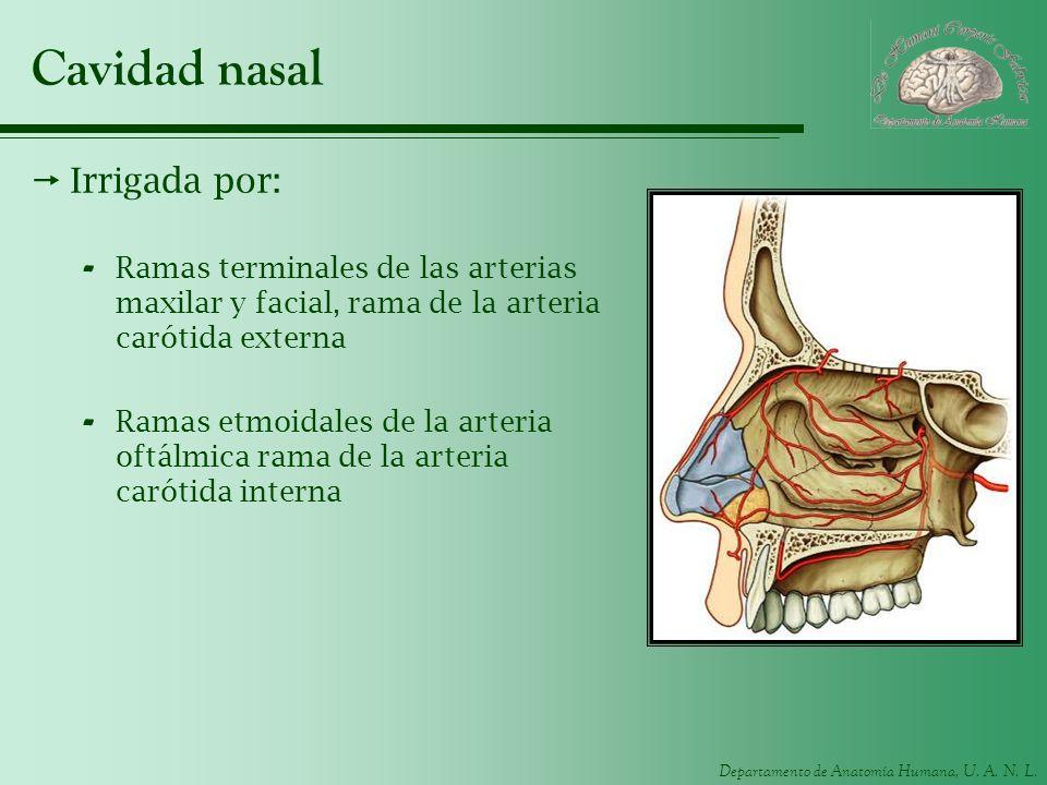 Departamento de Anatomía Humana, U. A. N. L. Cavidad nasal Irrigada por: - Ramas terminales de las arterias maxilar y facial, rama de la arteria carót