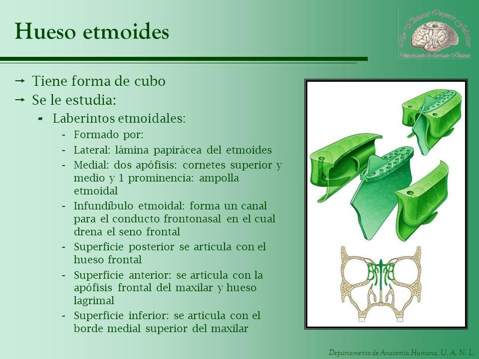 Departamento de Anatomía Humana, U. A. N. L. Hueso etmoides Tiene forma de cubo Se le estudia: - Laberintos etmoidales: -Formado por: -Lateral: lámina