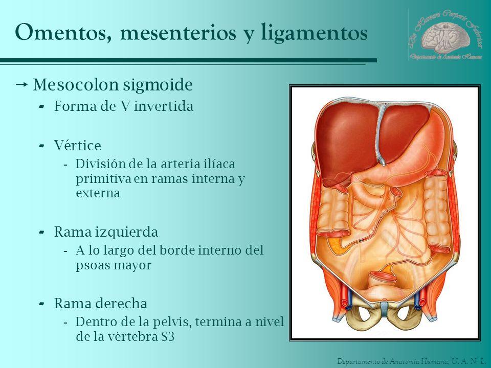 Departamento de Anatomía Humana, U. A. N. L. Omentos, mesenterios y ligamentos Mesocolon sigmoide - Forma de V invertida - Vértice -División de la art