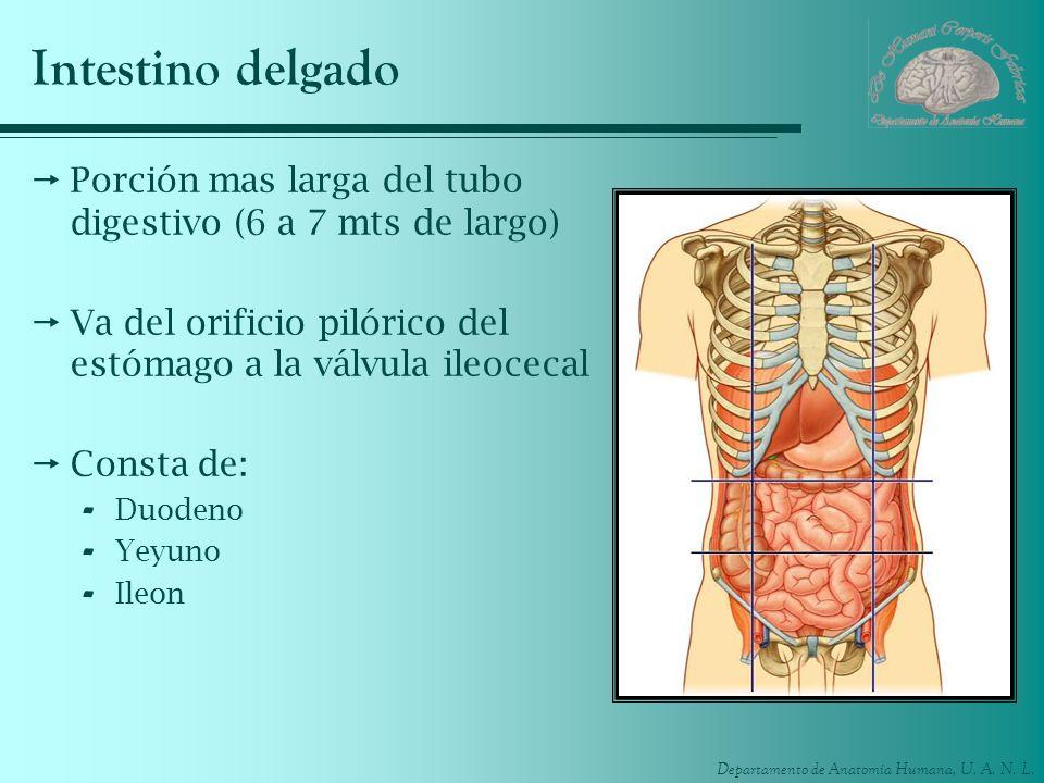 Departamento de Anatomía Humana, U. A. N. L. Intestino delgado Porción mas larga del tubo digestivo (6 a 7 mts de largo) Va del orificio pilórico del