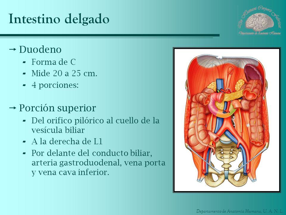 Departamento de Anatomía Humana, U. A. N. L. Intestino delgado Duodeno - Forma de C - Mide 20 a 25 cm. - 4 porciones: Porción superior - Del orifico p