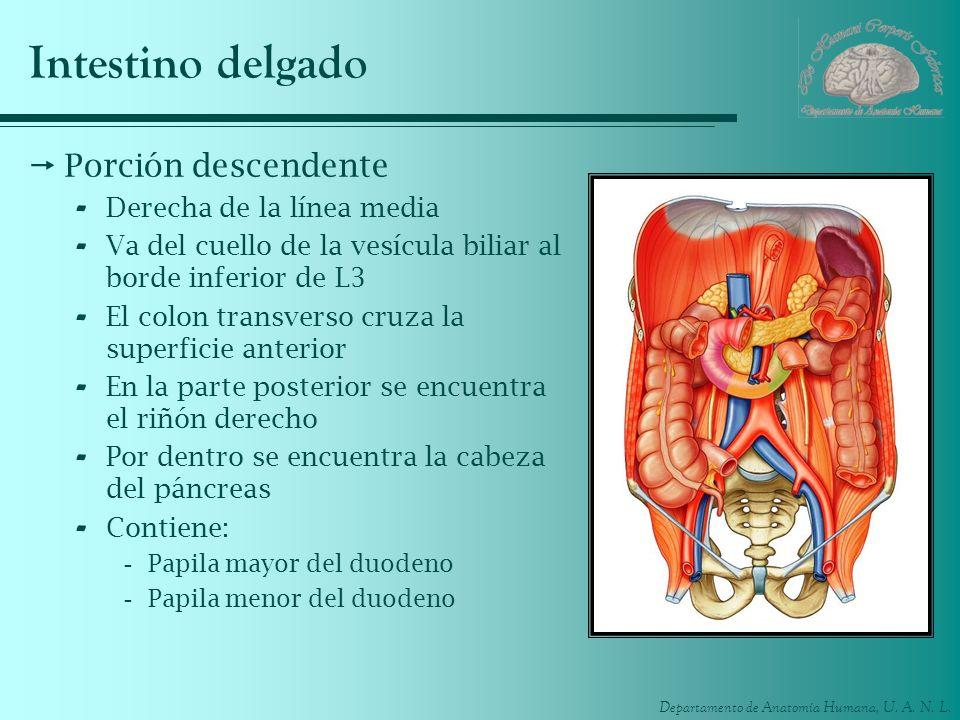 Departamento de Anatomía Humana, U. A. N. L. Intestino delgado Porción descendente - Derecha de la línea media - Va del cuello de la vesícula biliar a