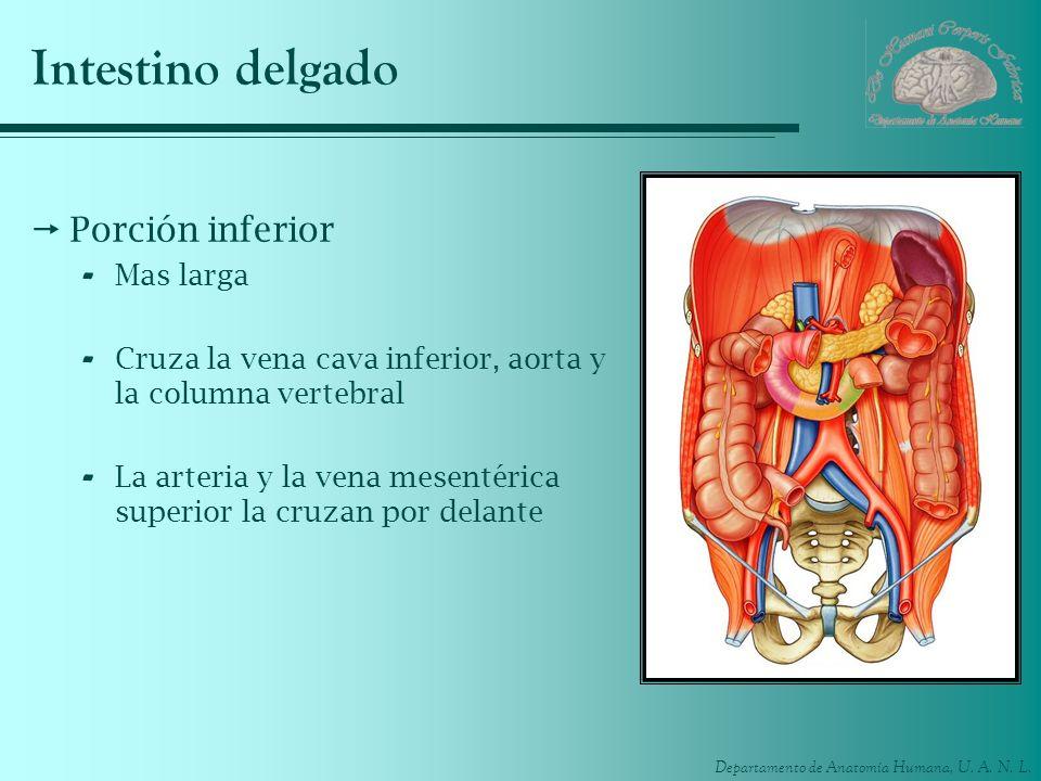 Departamento de Anatomía Humana, U. A. N. L. Intestino delgado Porción inferior - Mas larga - Cruza la vena cava inferior, aorta y la columna vertebra