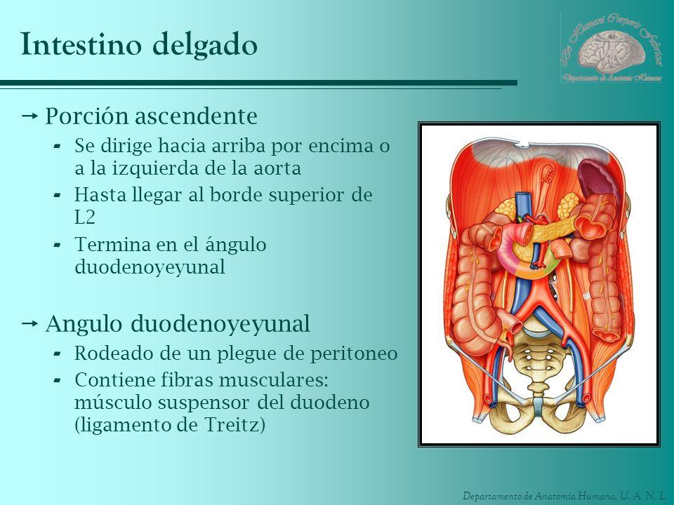 Departamento de Anatomía Humana, U. A. N. L. Intestino delgado Porción ascendente - Se dirige hacia arriba por encima o a la izquierda de la aorta - H