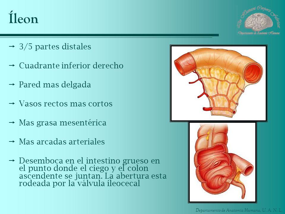 Departamento de Anatomía Humana, U. A. N. L. Íleon 3/5 partes distales Cuadrante inferior derecho Pared mas delgada Vasos rectos mas cortos Mas grasa