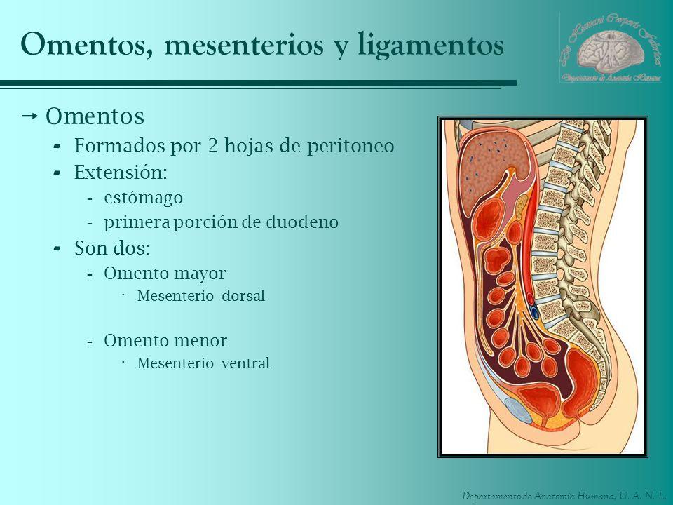 Departamento de Anatomía Humana, U. A. N. L. Omentos, mesenterios y ligamentos Omentos - Formados por 2 hojas de peritoneo - Extensión: -estómago -pri