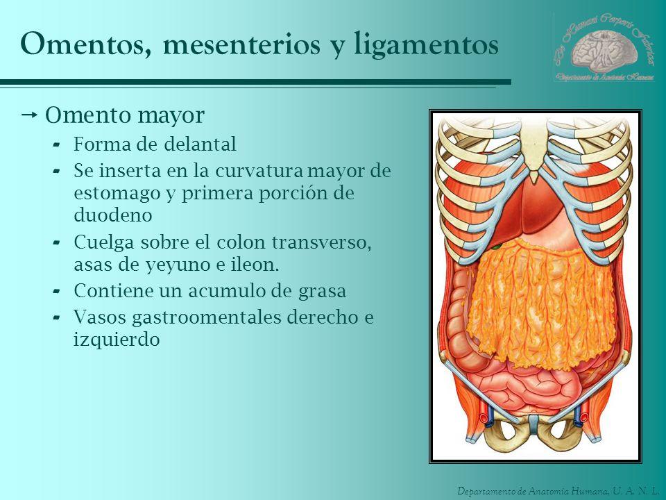 Departamento de Anatomía Humana, U. A. N. L. Omentos, mesenterios y ligamentos Omento mayor - Forma de delantal - Se inserta en la curvatura mayor de