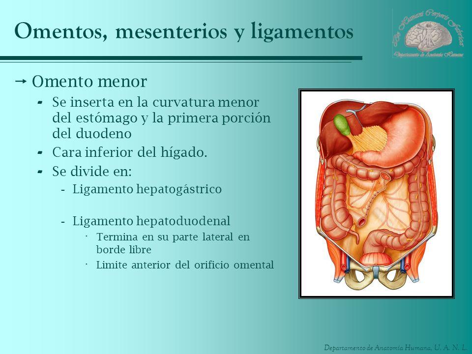 Departamento de Anatomía Humana, U. A. N. L. Omentos, mesenterios y ligamentos Omento menor - Se inserta en la curvatura menor del estómago y la prime