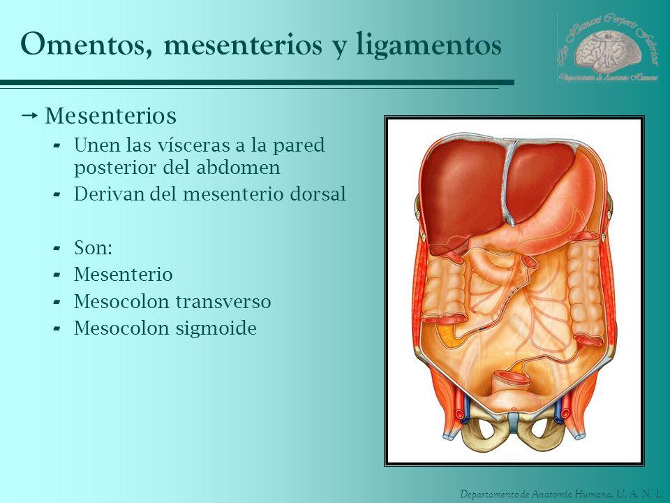 Departamento de Anatomía Humana, U. A. N. L. Omentos, mesenterios y ligamentos Mesenterios - Unen las vísceras a la pared posterior del abdomen - Deri