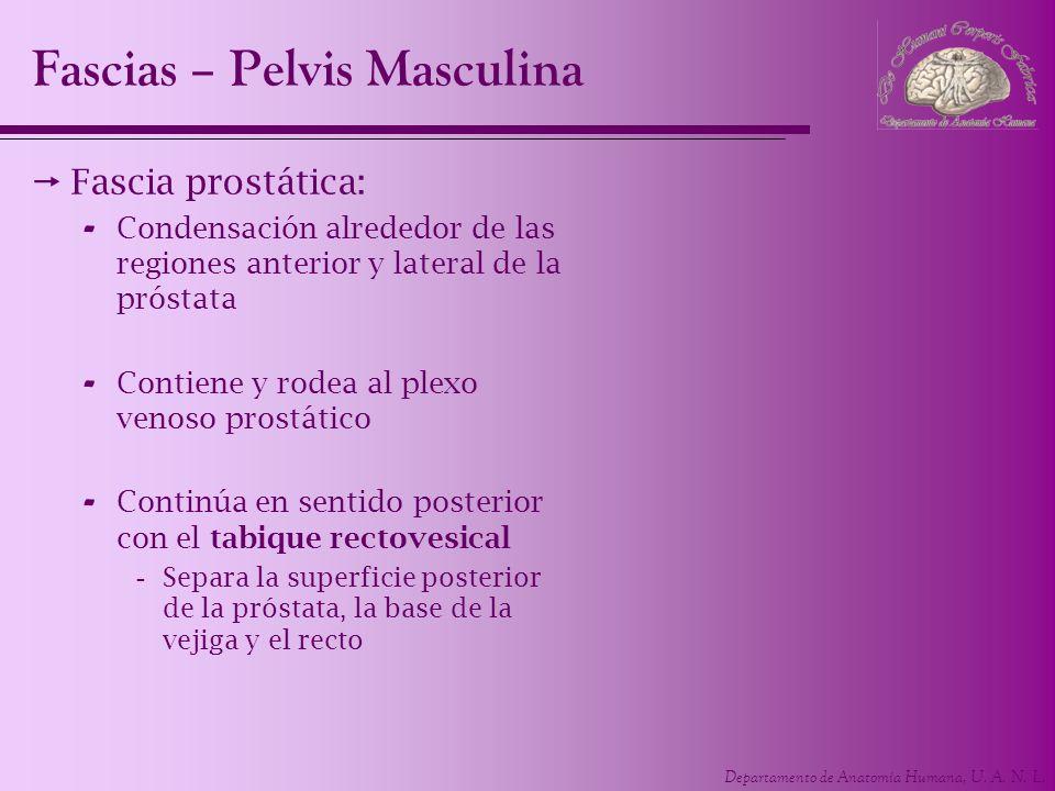 Departamento de Anatomía Humana, U. A. N. L. Fascias – Pelvis Masculina Fascia prostática: - Condensación alrededor de las regiones anterior y lateral