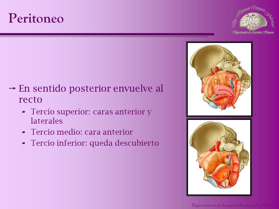 Departamento de Anatomía Humana, U. A. N. L. Peritoneo En sentido posterior envuelve al recto - Tercio superior: caras anterior y laterales - Tercio m