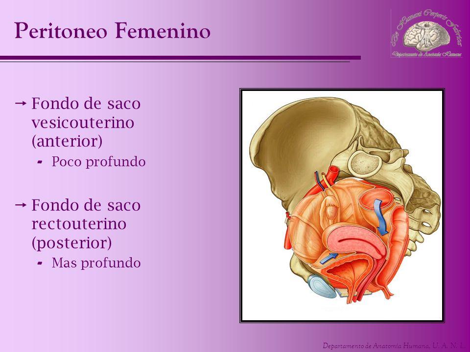 Departamento de Anatomía Humana, U. A. N. L. Peritoneo Femenino Fondo de saco vesicouterino (anterior) - Poco profundo Fondo de saco rectouterino (pos