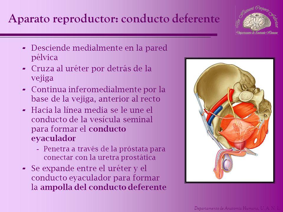 Departamento de Anatomía Humana, U. A. N. L. - Desciende medialmente en la pared pélvica - Cruza al uréter por detrás de la vejiga - Continua inferome