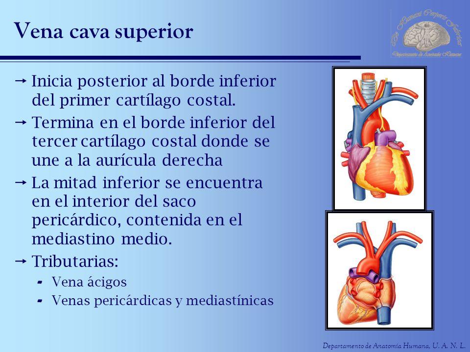 Departamento de Anatomía Humana, U. A. N. L. Vena cava superior Inicia posterior al borde inferior del primer cartílago costal. Termina en el borde in