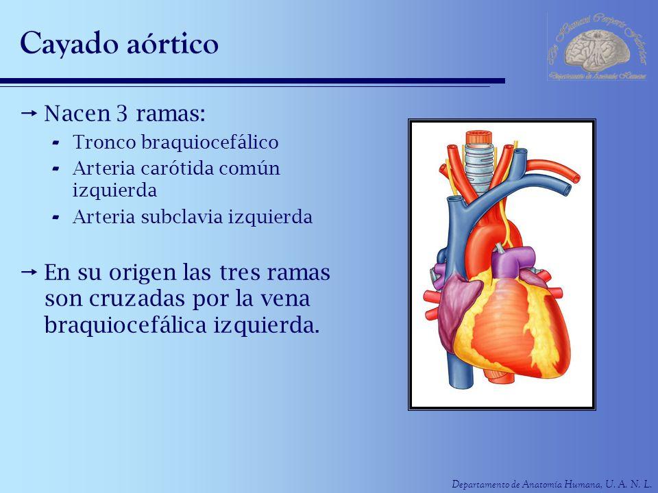 Departamento de Anatomía Humana, U. A. N. L. Cayado aórtico Nacen 3 ramas: - Tronco braquiocefálico - Arteria carótida común izquierda - Arteria subcl