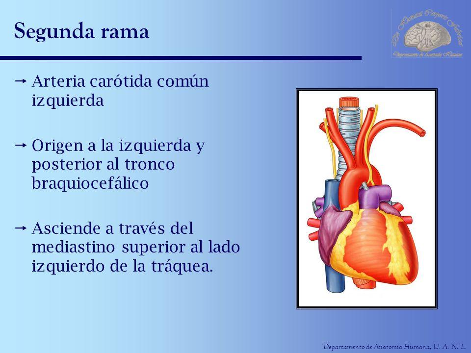 Departamento de Anatomía Humana, U. A. N. L. Segunda rama Arteria carótida común izquierda Origen a la izquierda y posterior al tronco braquiocefálico