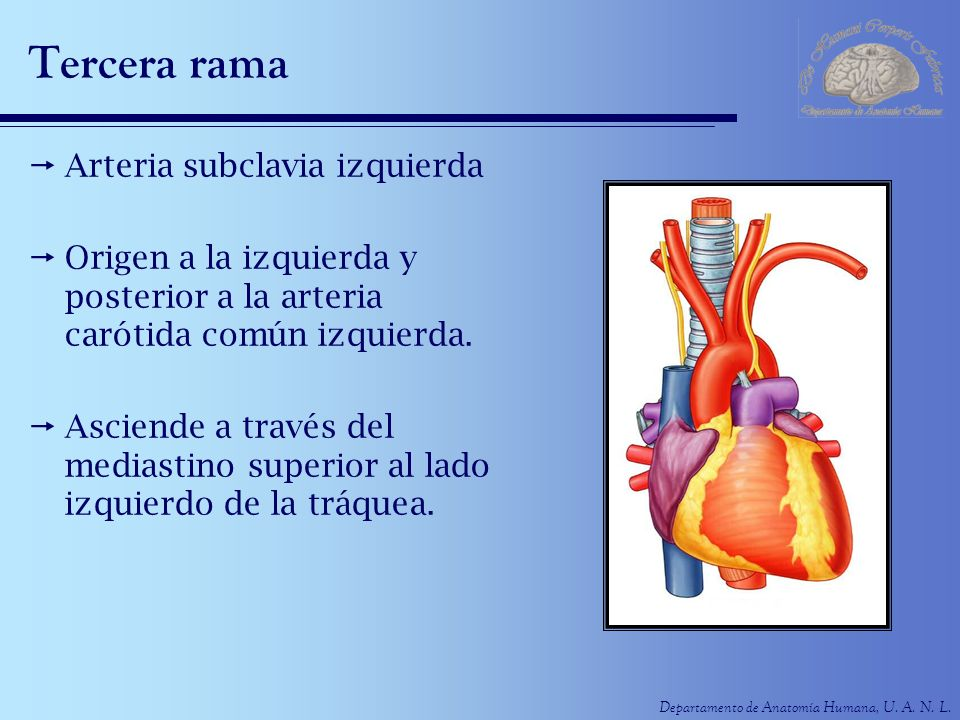 Departamento de Anatomía Humana, U. A. N. L. Tercera rama Arteria subclavia izquierda Origen a la izquierda y posterior a la arteria carótida común iz
