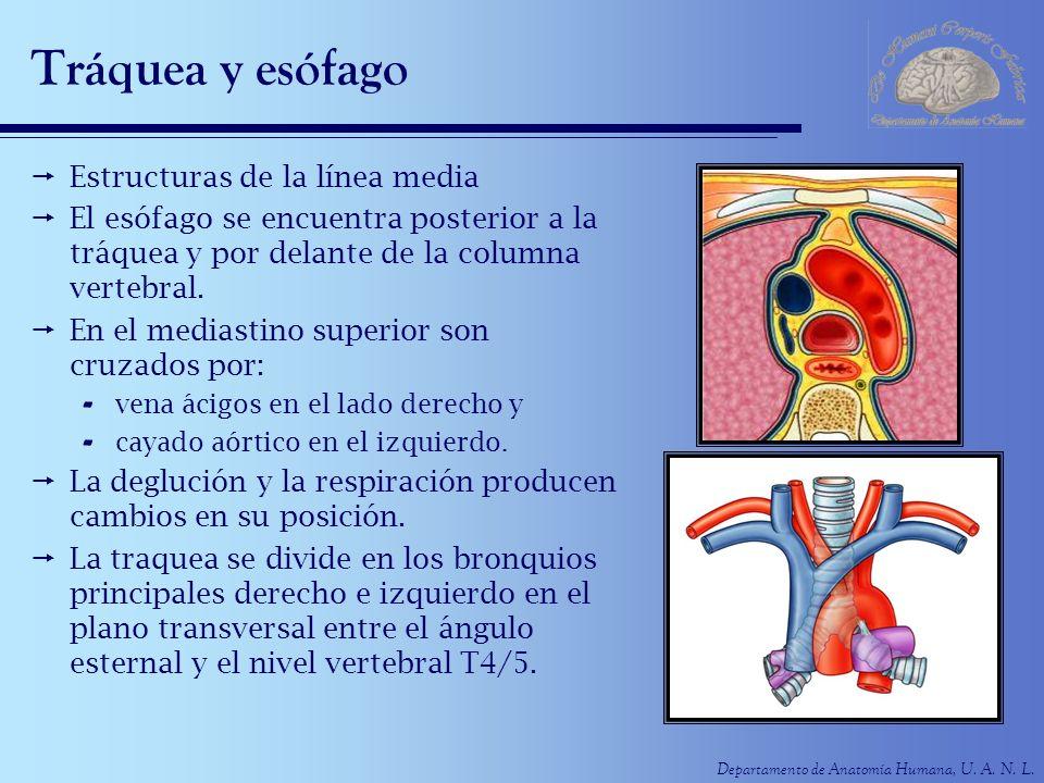 Departamento de Anatomía Humana, U. A. N. L. Tráquea y esófago Estructuras de la línea media El esófago se encuentra posterior a la tráquea y por dela