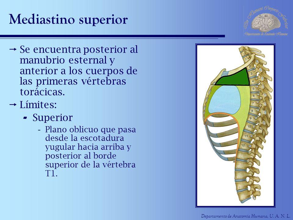 Departamento de Anatomía Humana, U. A. N. L. Mediastino superior Se encuentra posterior al manubrio esternal y anterior a los cuerpos de las primeras
