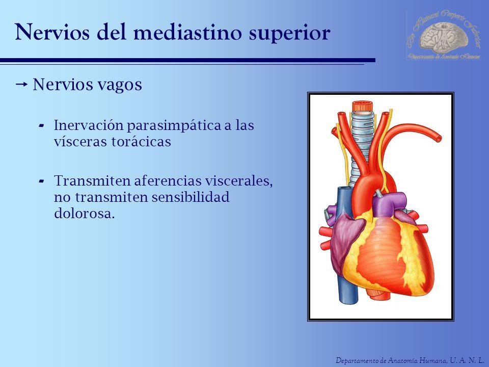 Departamento de Anatomía Humana, U. A. N. L. Nervios del mediastino superior Nervios vagos - Inervación parasimpática a las vísceras torácicas - Trans