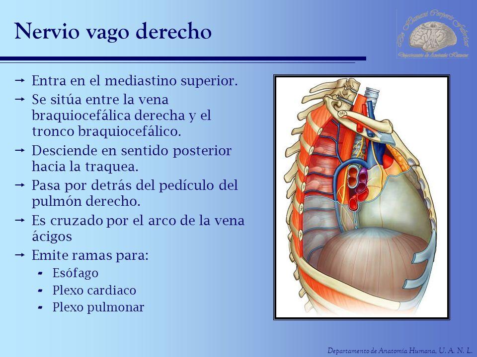 Departamento de Anatomía Humana, U. A. N. L. Nervio vago derecho Entra en el mediastino superior. Se sitúa entre la vena braquiocefálica derecha y el