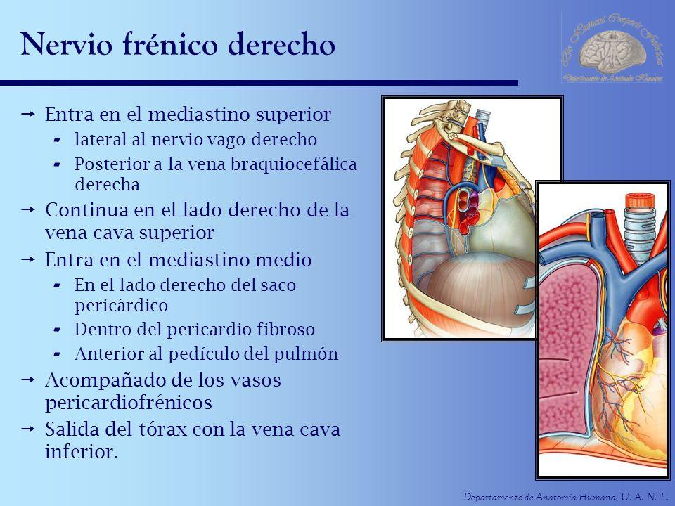 Departamento de Anatomía Humana, U. A. N. L. Nervio frénico derecho Entra en el mediastino superior - lateral al nervio vago derecho - Posterior a la