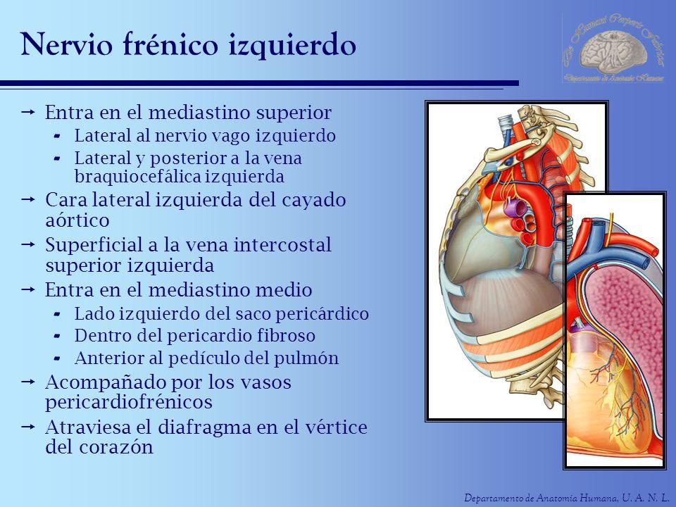 Departamento de Anatomía Humana, U. A. N. L. Nervio frénico izquierdo Entra en el mediastino superior - Lateral al nervio vago izquierdo - Lateral y p