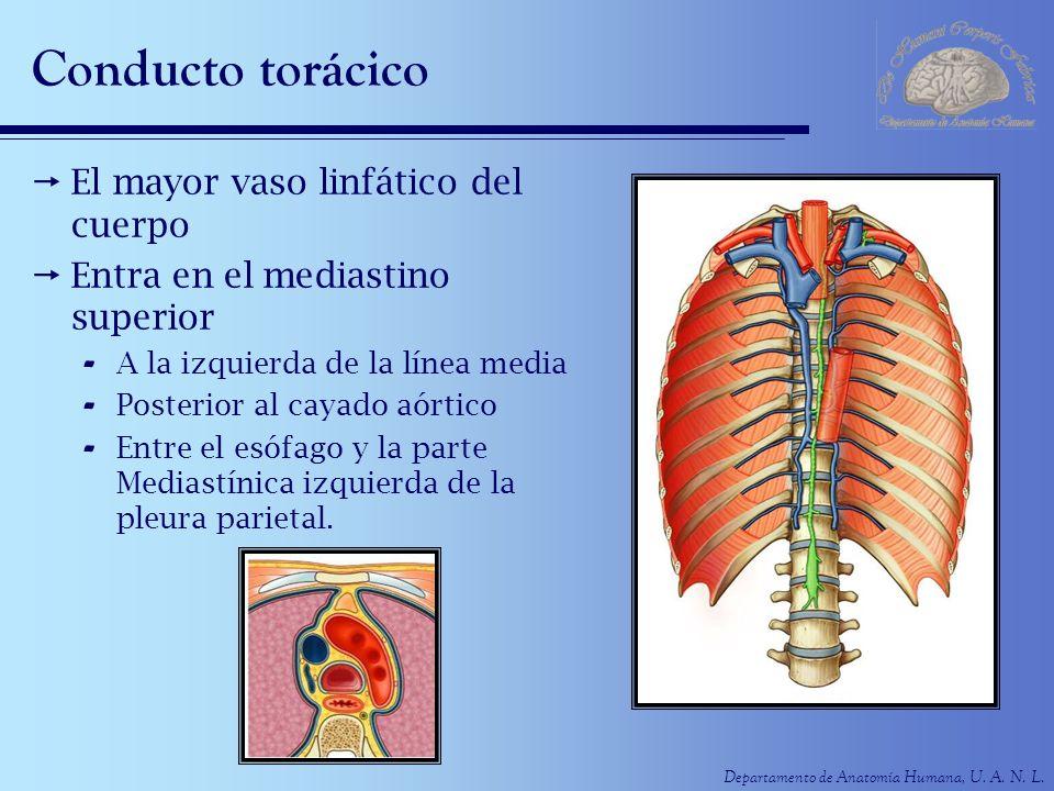 Departamento de Anatomía Humana, U. A. N. L. Conducto torácico El mayor vaso linfático del cuerpo Entra en el mediastino superior - A la izquierda de