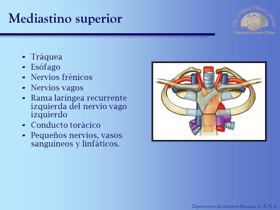 Departamento de Anatomía Humana, U. A. N. L. Mediastino superior - Tráquea - Esófago - Nervios frénicos - Nervios vagos - Rama laríngea recurrente izq