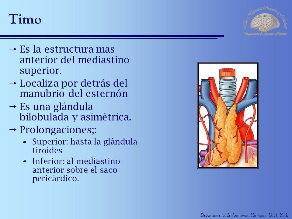 Departamento de Anatomía Humana, U. A. N. L. Timo Es la estructura mas anterior del mediastino superior. Localiza por detrás del manubrio del esternón