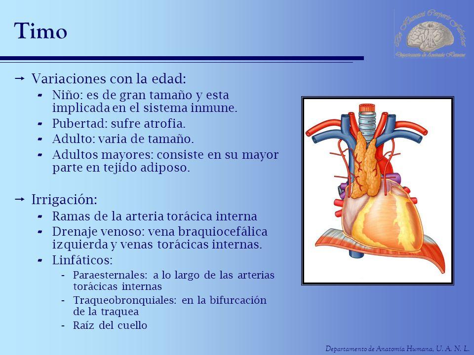 Departamento de Anatomía Humana, U. A. N. L. Timo Variaciones con la edad: - Niño: es de gran tamaño y esta implicada en el sistema inmune. - Pubertad