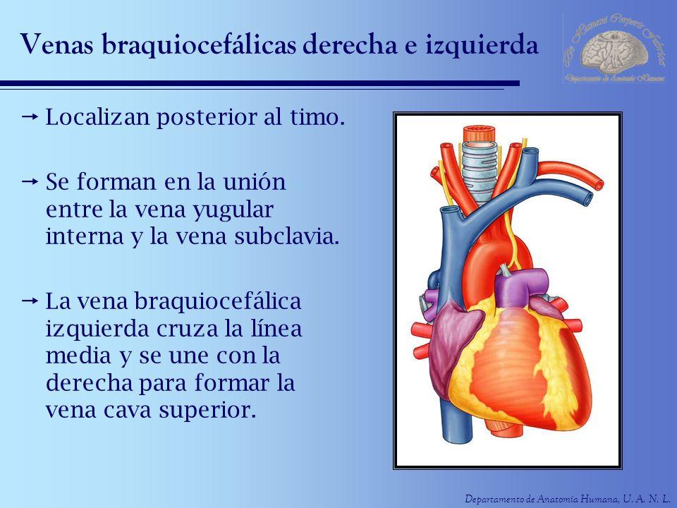 Departamento de Anatomía Humana, U. A. N. L. Venas braquiocefálicas derecha e izquierda Localizan posterior al timo. Se forman en la unión entre la ve