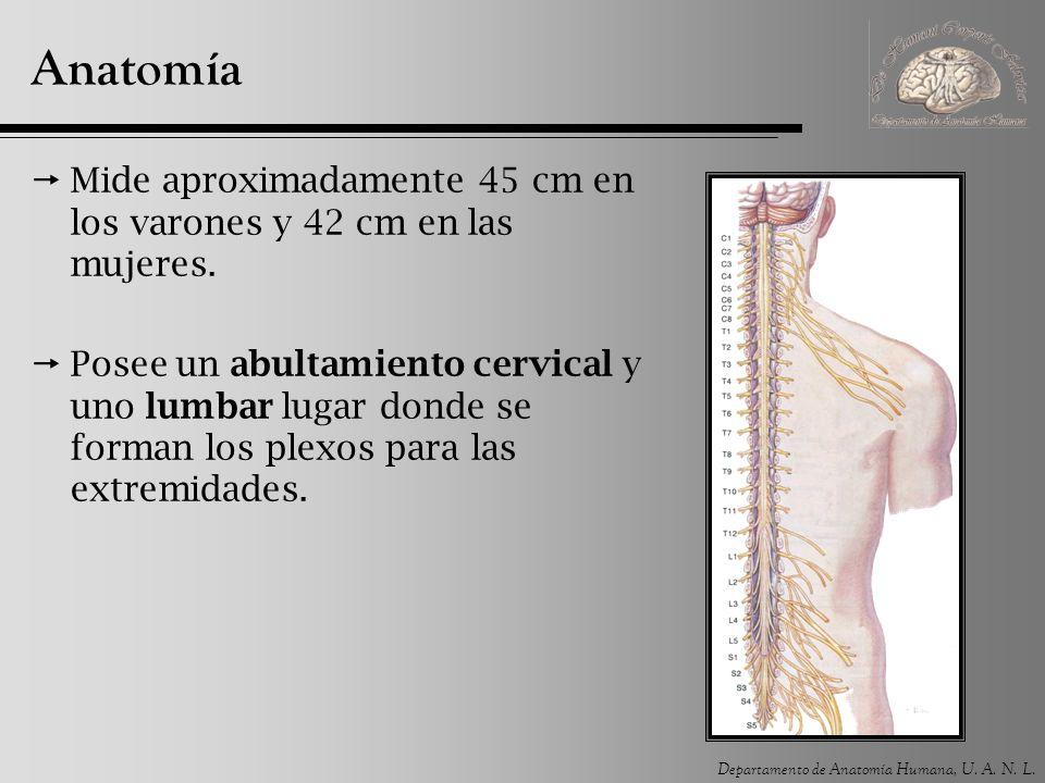 Departamento de Anatomía Humana, U.A. N. L. Anatomía Su extremo caudal forma el cono medular.