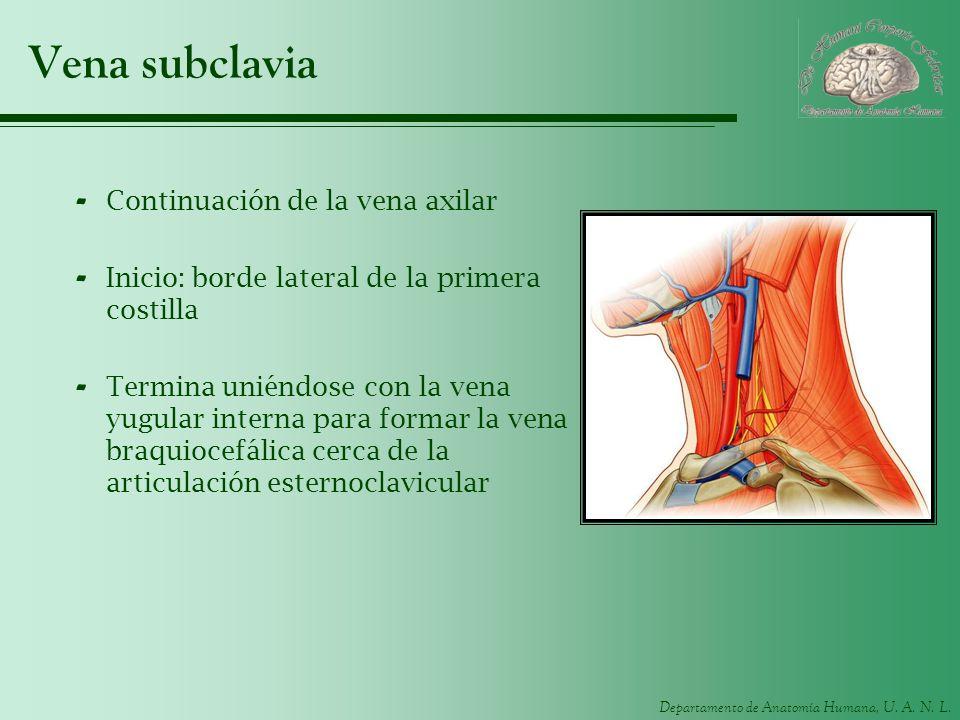 Departamento de Anatomía Humana, U. A. N. L. Vena subclavia - Continuación de la vena axilar - Inicio: borde lateral de la primera costilla - Termina