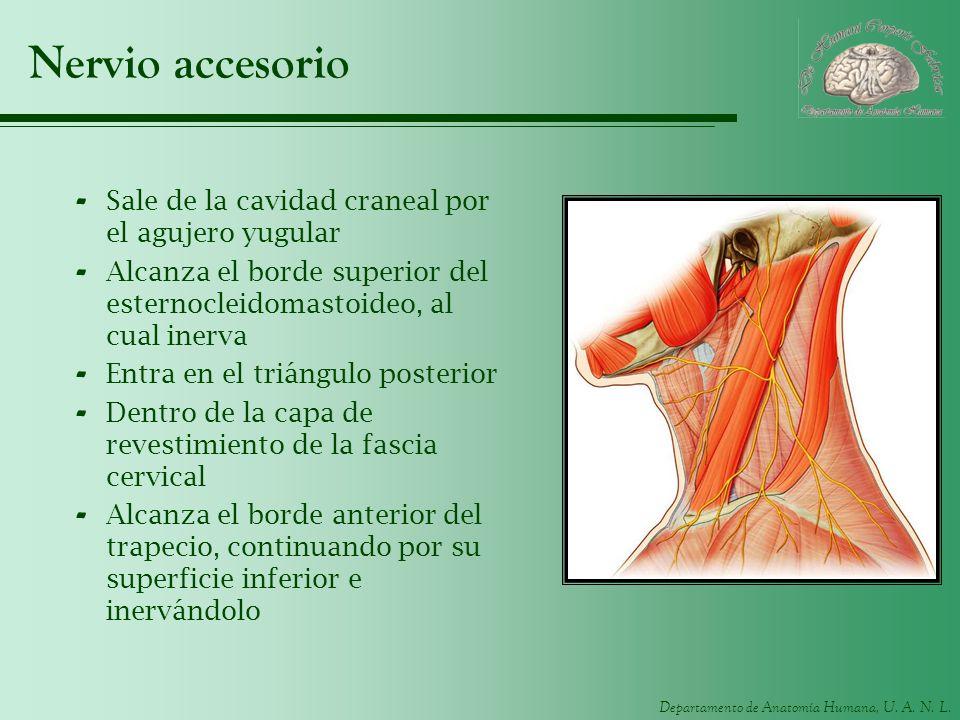 Departamento de Anatomía Humana, U. A. N. L. Nervio accesorio - Sale de la cavidad craneal por el agujero yugular - Alcanza el borde superior del este