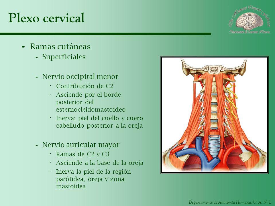 Departamento de Anatomía Humana, U. A. N. L. Plexo cervical - Ramas cutáneas -Superficiales -Nervio occipital menor · Contribución de C2 · Asciende po