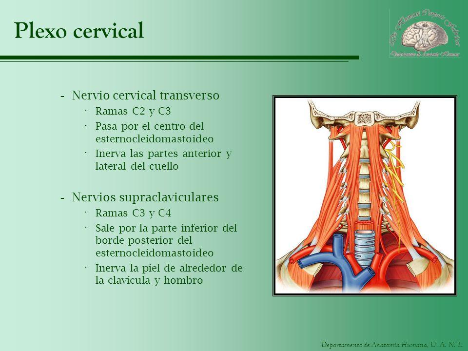 Departamento de Anatomía Humana, U. A. N. L. Plexo cervical -Nervio cervical transverso · Ramas C2 y C3 · Pasa por el centro del esternocleidomastoide