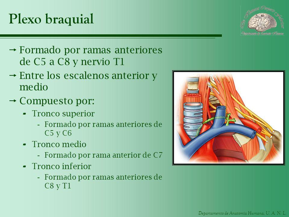 Departamento de Anatomía Humana, U. A. N. L. Plexo braquial Formado por ramas anteriores de C5 a C8 y nervio T1 Entre los escalenos anterior y medio C