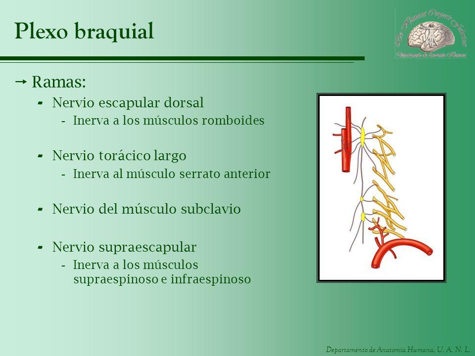 Departamento de Anatomía Humana, U. A. N. L. Plexo braquial Ramas: - Nervio escapular dorsal -Inerva a los músculos romboides - Nervio torácico largo