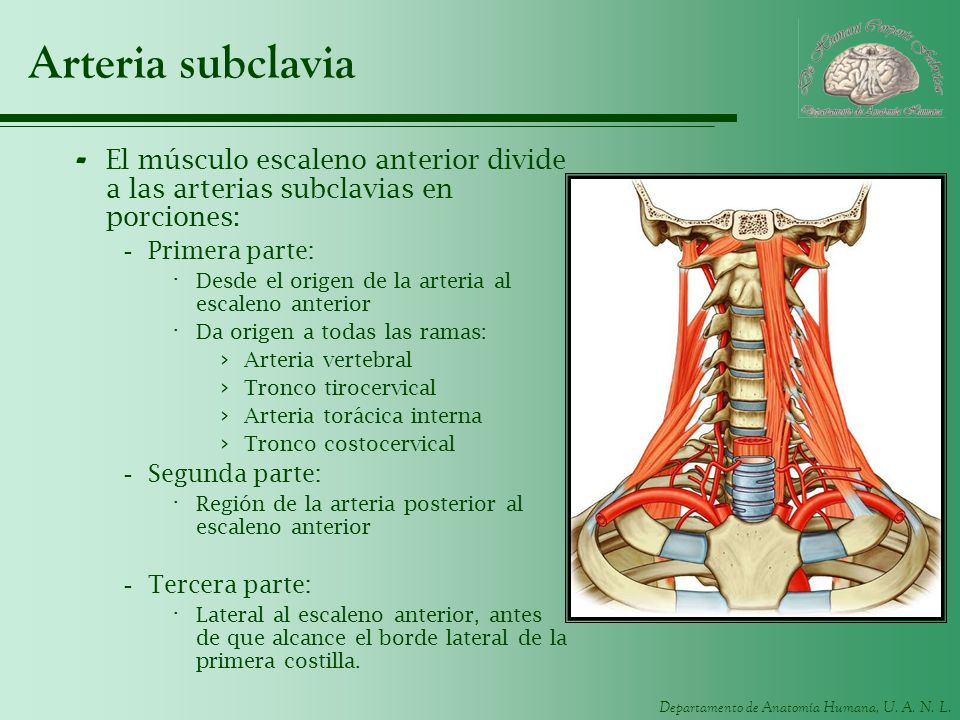 Departamento de Anatomía Humana, U. A. N. L. Arteria subclavia - El músculo escaleno anterior divide a las arterias subclavias en porciones: -Primera
