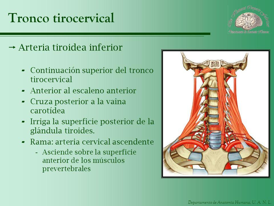 Departamento de Anatomía Humana, U. A. N. L. Tronco tirocervical Arteria tiroidea inferior - Continuación superior del tronco tirocervical - Anterior