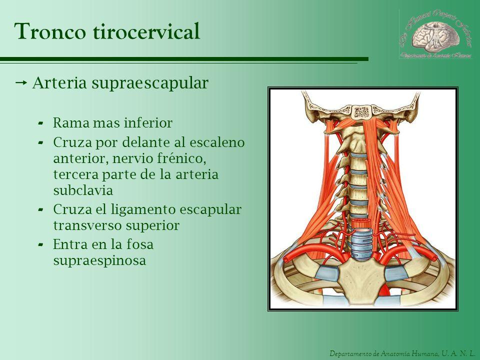 Departamento de Anatomía Humana, U. A. N. L. Tronco tirocervical Arteria supraescapular - Rama mas inferior - Cruza por delante al escaleno anterior,