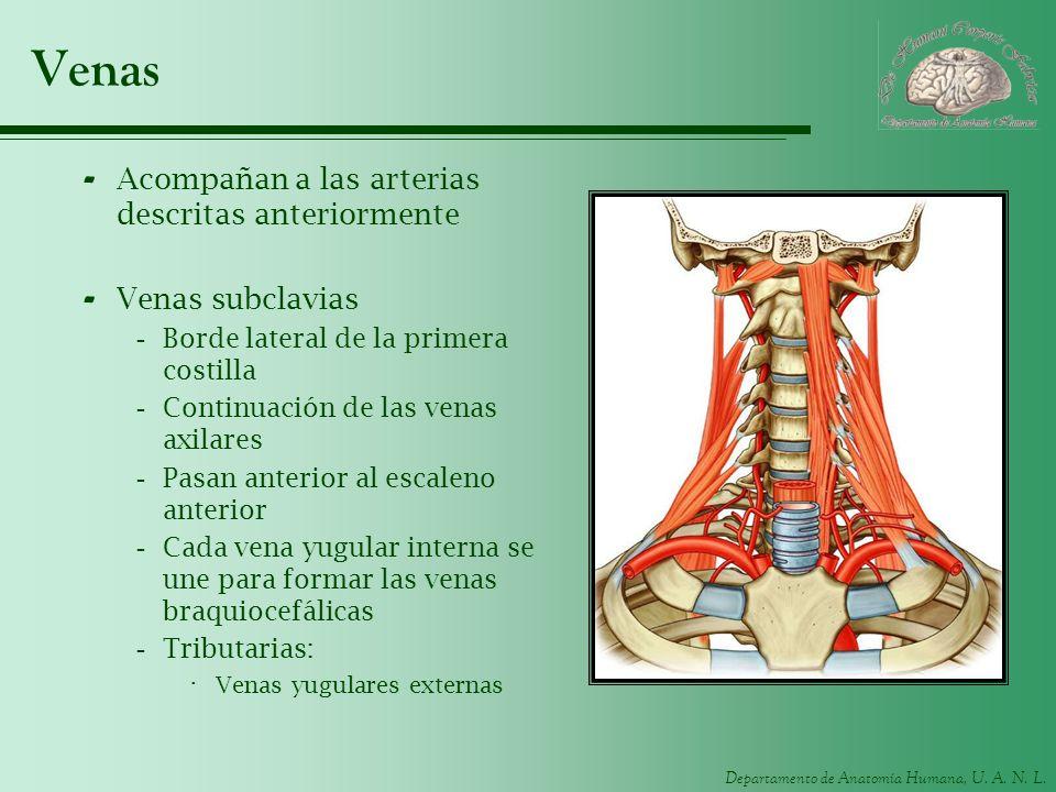 Departamento de Anatomía Humana, U. A. N. L. Venas - Acompañan a las arterias descritas anteriormente - Venas subclavias -Borde lateral de la primera