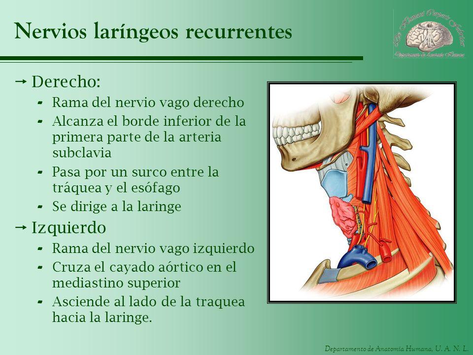 Departamento de Anatomía Humana, U. A. N. L. Nervios laríngeos recurrentes Derecho: - Rama del nervio vago derecho - Alcanza el borde inferior de la p