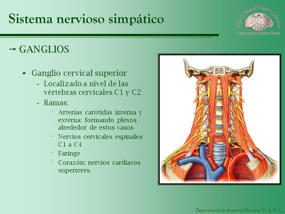 Departamento de Anatomía Humana, U. A. N. L. Sistema nervioso simpático GANGLIOS - Ganglio cervical superior -Localizado a nivel de las vértebras cerv