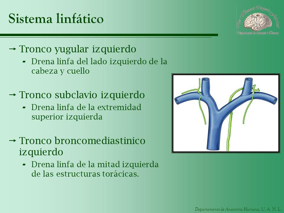 Departamento de Anatomía Humana, U. A. N. L. Sistema linfático Tronco yugular izquierdo - Drena linfa del lado izquierdo de la cabeza y cuello Tronco