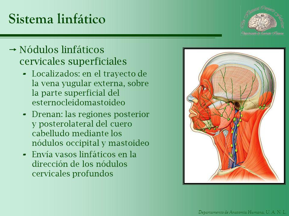 Departamento de Anatomía Humana, U. A. N. L. Sistema linfático Nódulos linfáticos cervicales superficiales - Localizados: en el trayecto de la vena yu